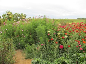 Cosmos and zinnias and weeds