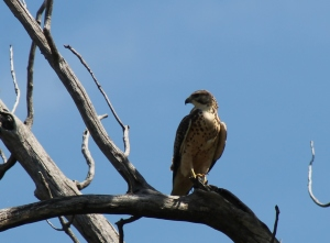 Broad tailed hawk???