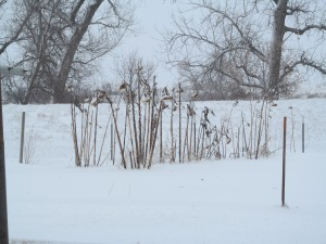 Garden today, the sunflowers are still standing even with the snow and the wind.