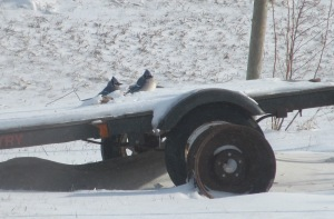 Two Blue Jays all puffed up trying to stay warm