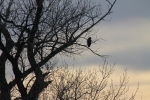 Hawk in the tree